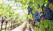 Сорта винограда для выращивания в Беларуси