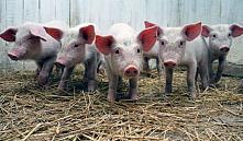 «Белнефтехим» потратит 18 млн евро на строительство свинокомплекса