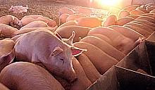 Белорусская, украинская и российская ветслужбы объединились, чтобы вместе ослабить опасность и предпринять единые меры защиты от чумы свиней