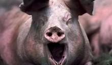 Как стабилизационные фонды нормализуют экономику Беларуси посредством африканской чумы свиней?