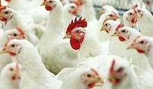 Не птичий день: из-за птичьего гриппа Беларусь запретила ввоз куриного мяса из нескольких стран мира