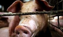 Президентское видение свиной чумы и прочие манипуляции с личными хозяйствами крестьян