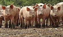 Польша обратилась в Брюссель за спасением от африканской чумы свиней в Беларуси: просила 420 км ограждений и систему дезинфекции
