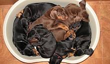В 2012 году может быть введен запрет на содержание в квартирах собак потенциально опасных пород