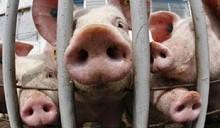 Свино-бунт или как белорусы протестуют против ликвидации свиней с частных подворий