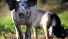 В Литве переполох из-за «нашей» африканской чумы свиней