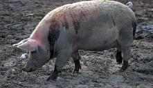 Поток зараженной свинины контролируется властями - от африканской чумы не останется и следа