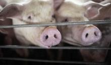 Беларусь и Россия объединили усилия, чтобы побороться за мир без чумы свиней